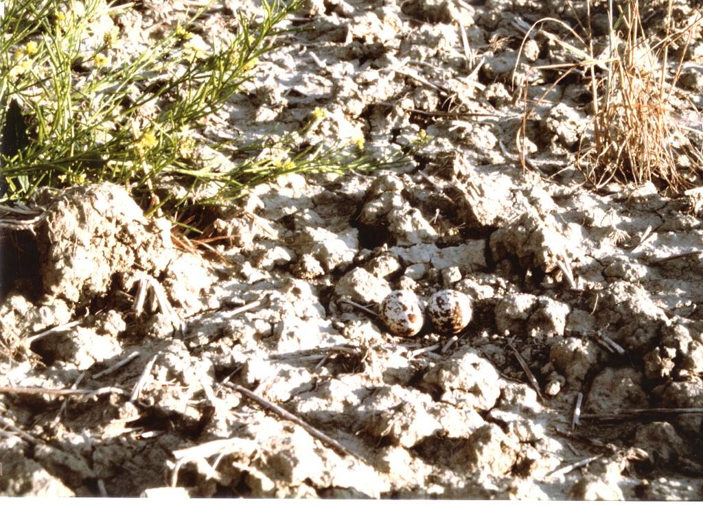 Il nido di tallurino, ossia due uova deposte sull'argilla, da me rinvenuto nel giugno 1999